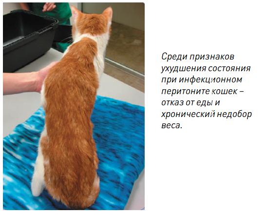 признаки короновирусной инфекции у кошек