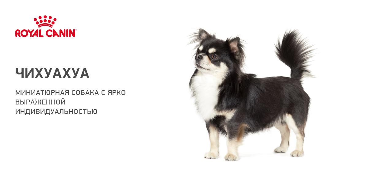 Чихуахуа – фото собаки, описание характера чихуахуа и характеристика породы