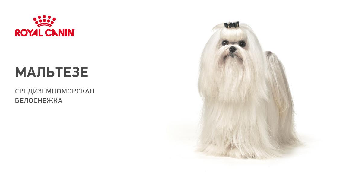 Мальтезе порода собак