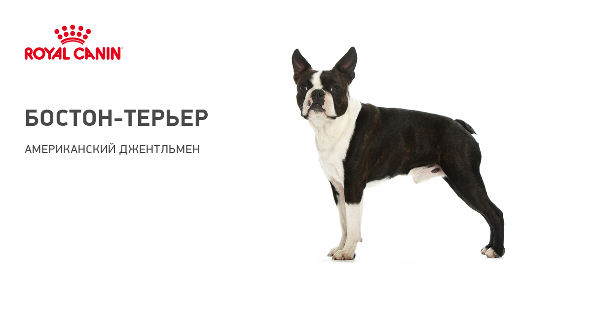 Бостон терьер собака. Описание, особенности, уход и цена бостон терьера