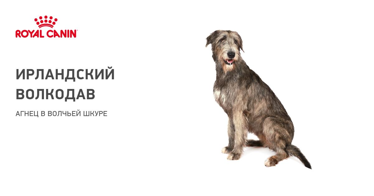 Описание породы собак Ирландский терьер с отзывами владельцев и фото
