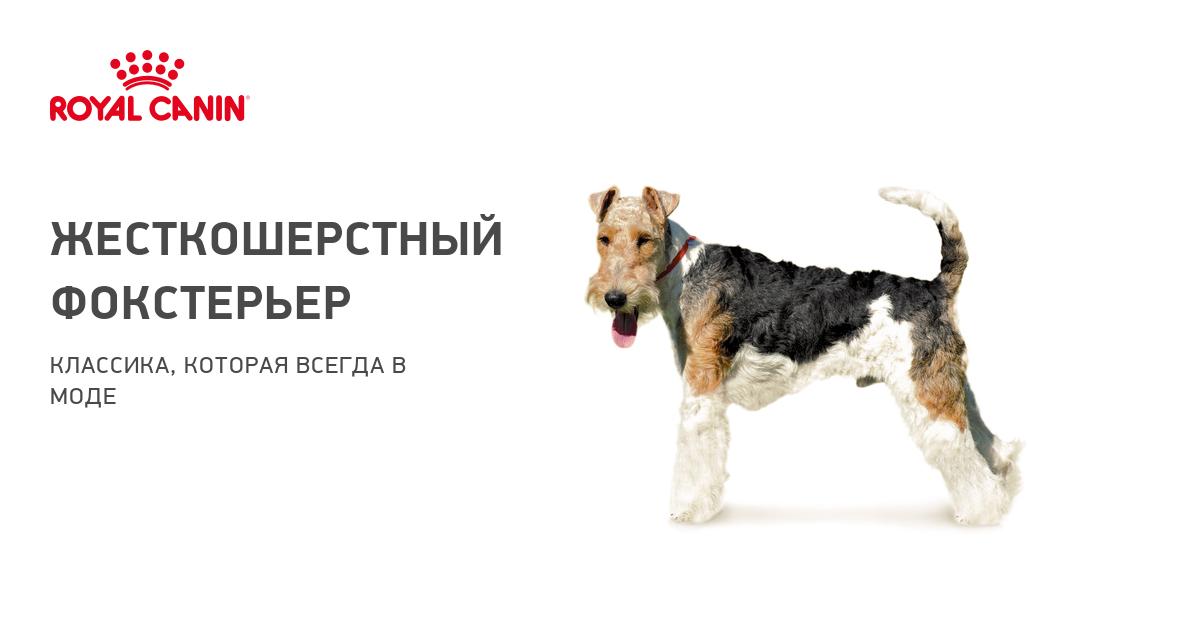 Жесткошерстный фокстерьер – фото собаки, описание характера фокстерьера и характеристика породы