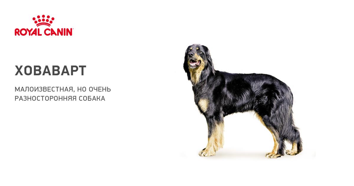 Порода собак ховаварт и ее характеристики с фото