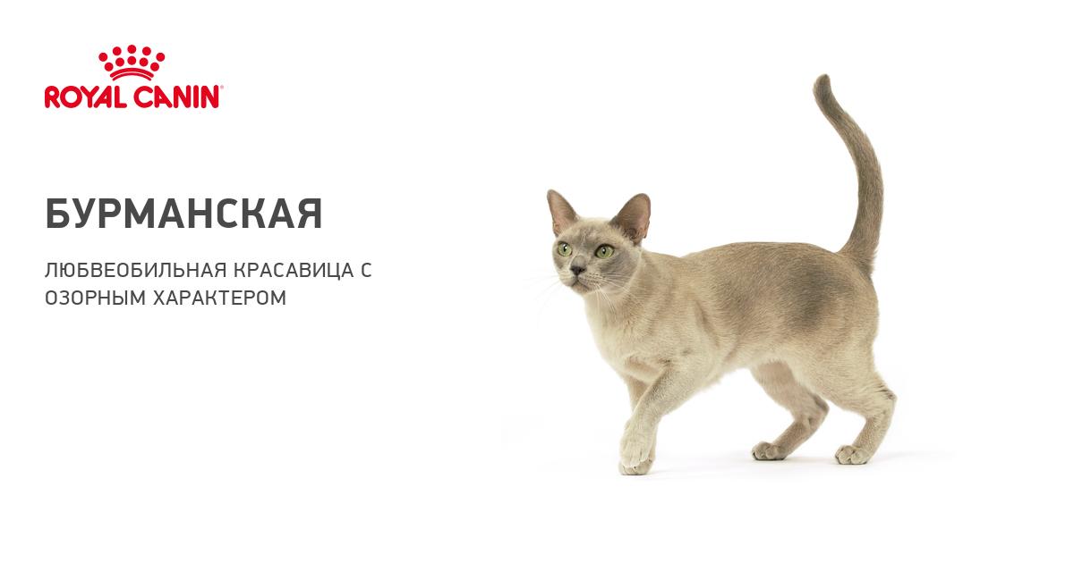 Бурманская порода кошек: описание, характер, цены