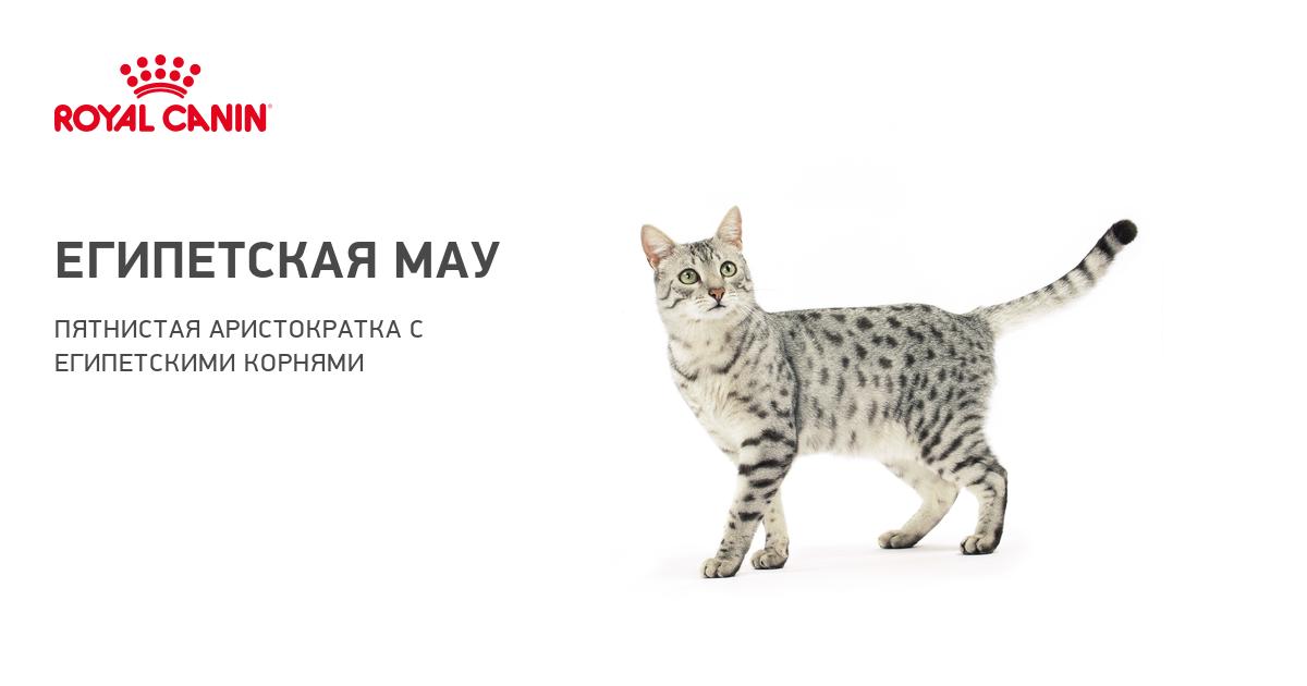 Мау порода кошек