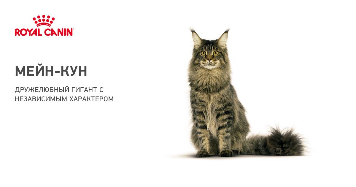 Кошка мейн кун характеристика породы