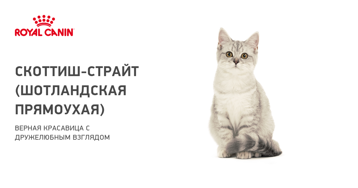 Шотландская короткошерстная кошка: описание, характер, стандарты породы. Кошки скоттиш-страйт