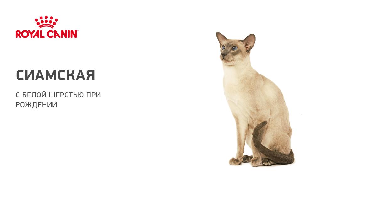 Описание породы и характера сиамской кошки
