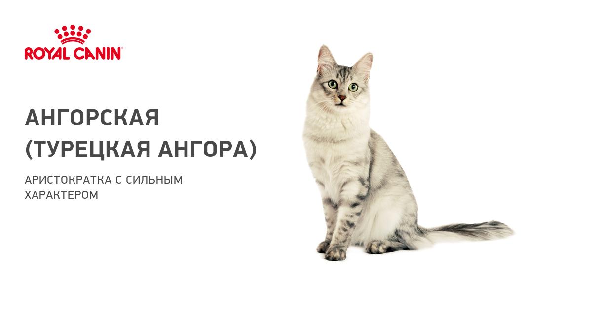 Турецкая ангора – описание породы и особенности характера