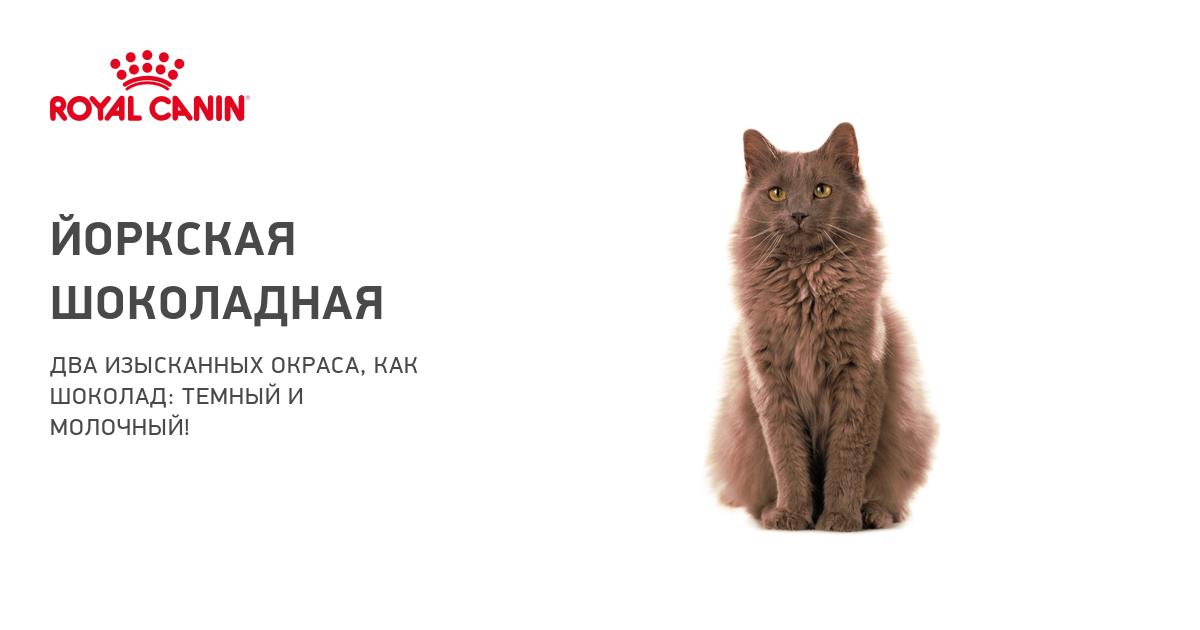 Йоркский шоколадный кот описание породы