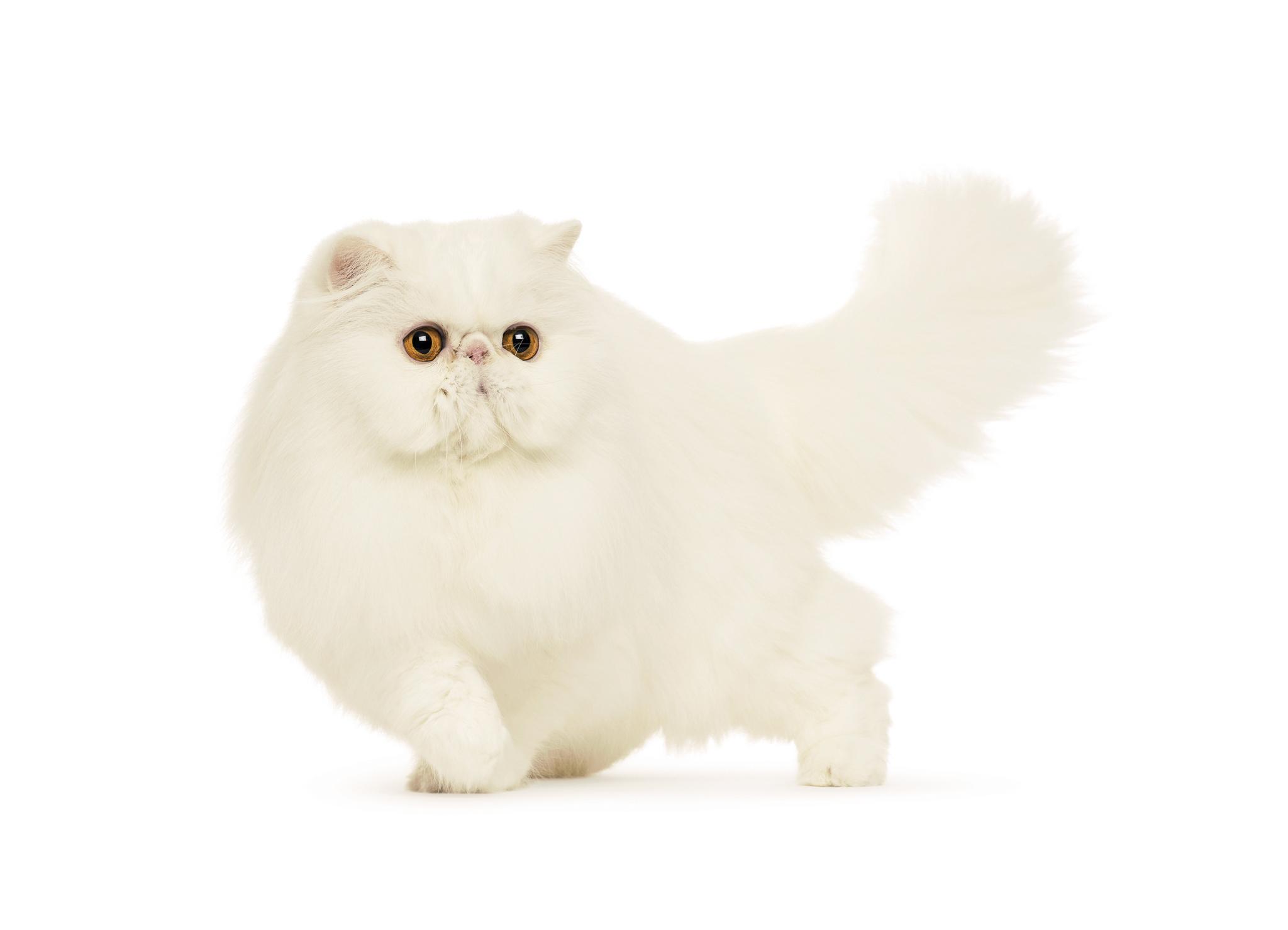 персидский кошки