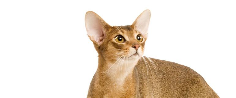 Что делать, если у кошки сломан хвост? Травма хвоста у кота: что делать?