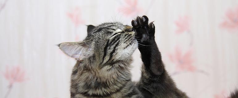 Почему кот постоянно лижется