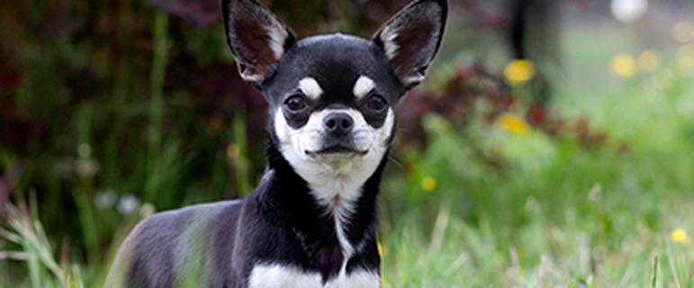 Как ухаживать за собакой чихуахуа