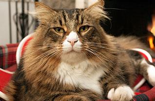 Стерилизация кошки когда проводить в чм плюсы и минусы что думают ветеринары