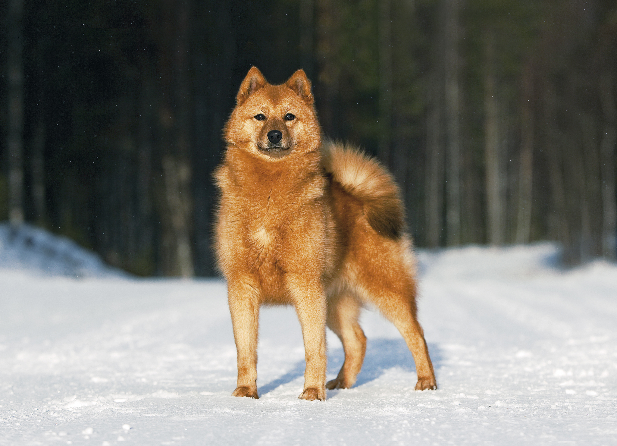 фото карело финская лайка