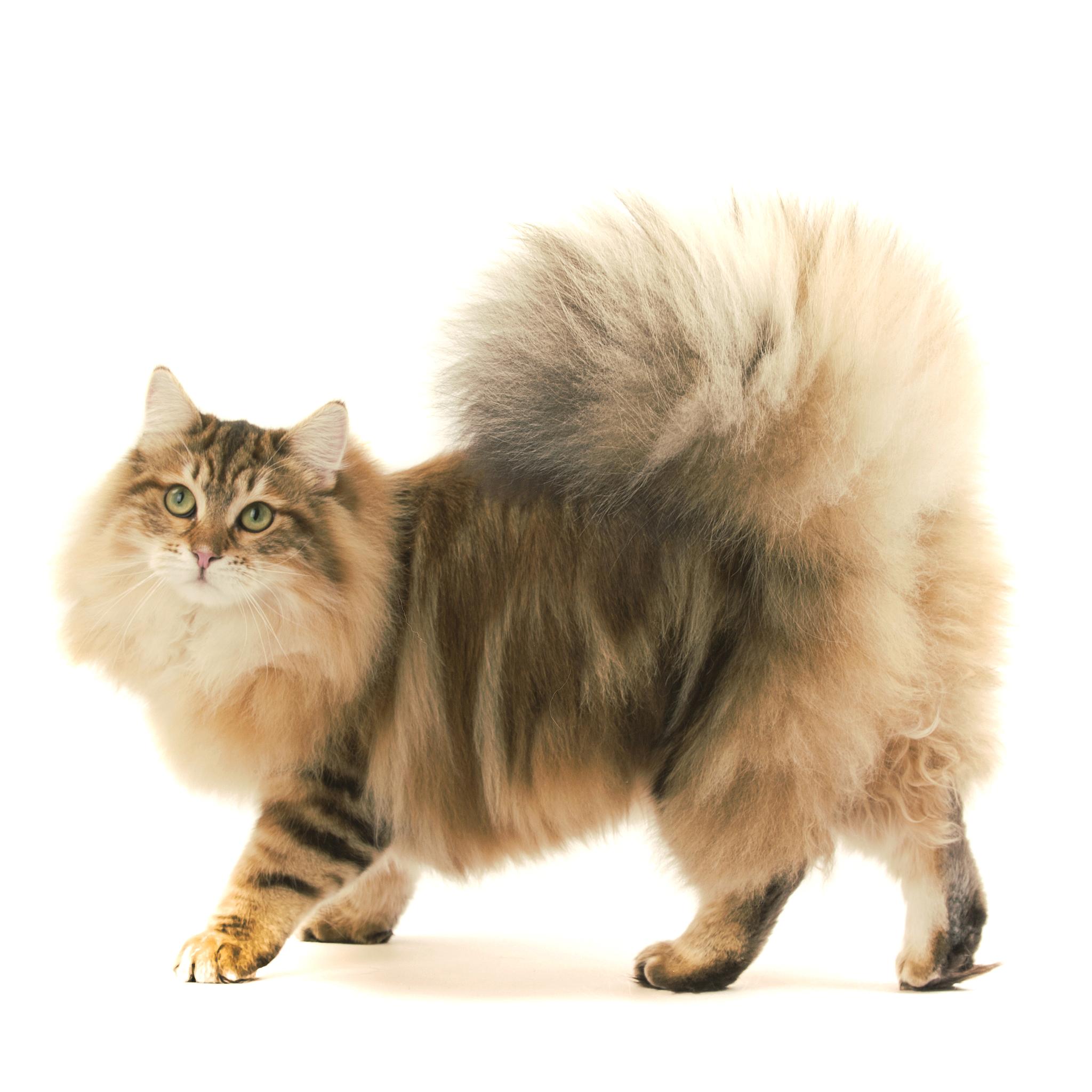 сибирский длинношерстный кот