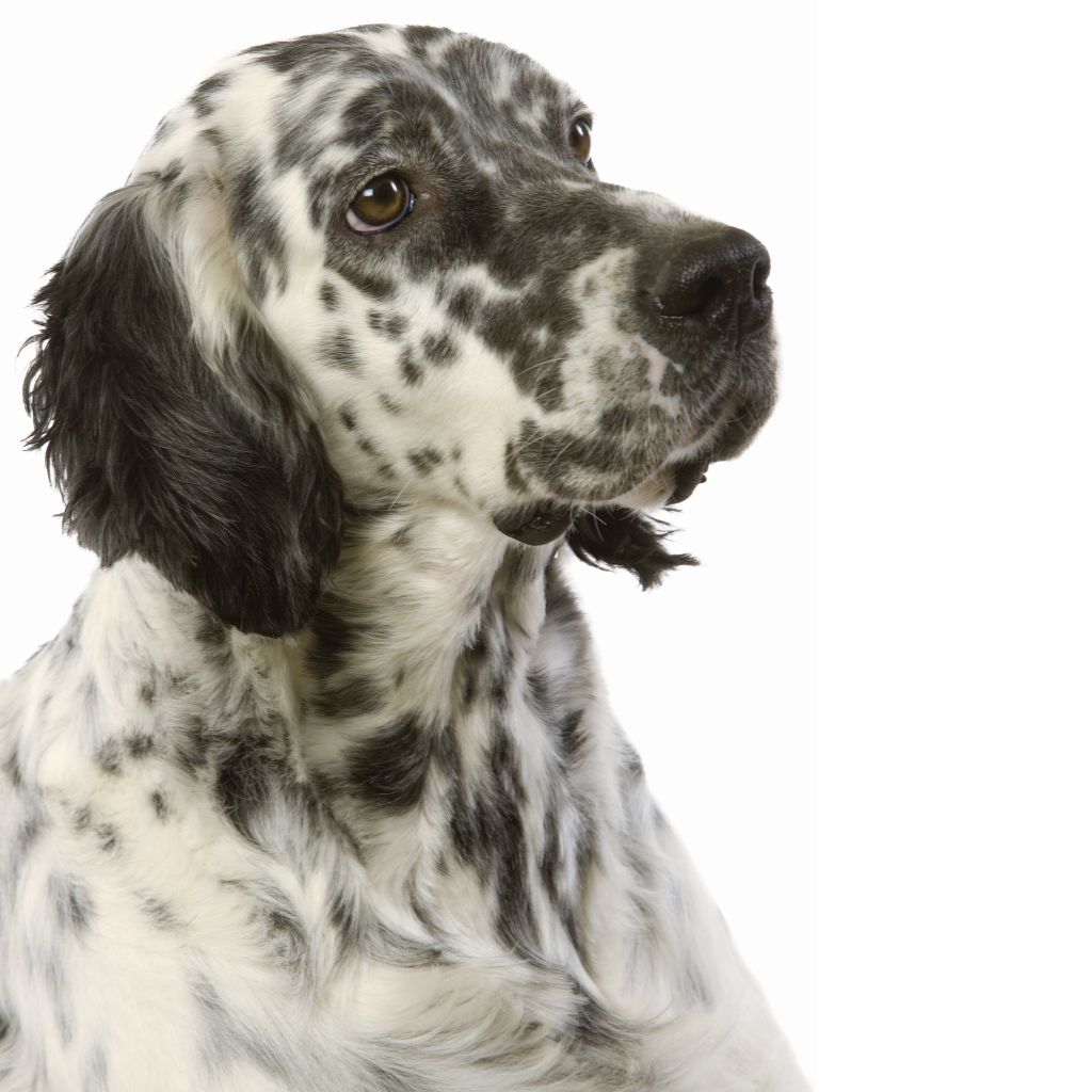 Чихуахуа собака описание породы фото характер видео