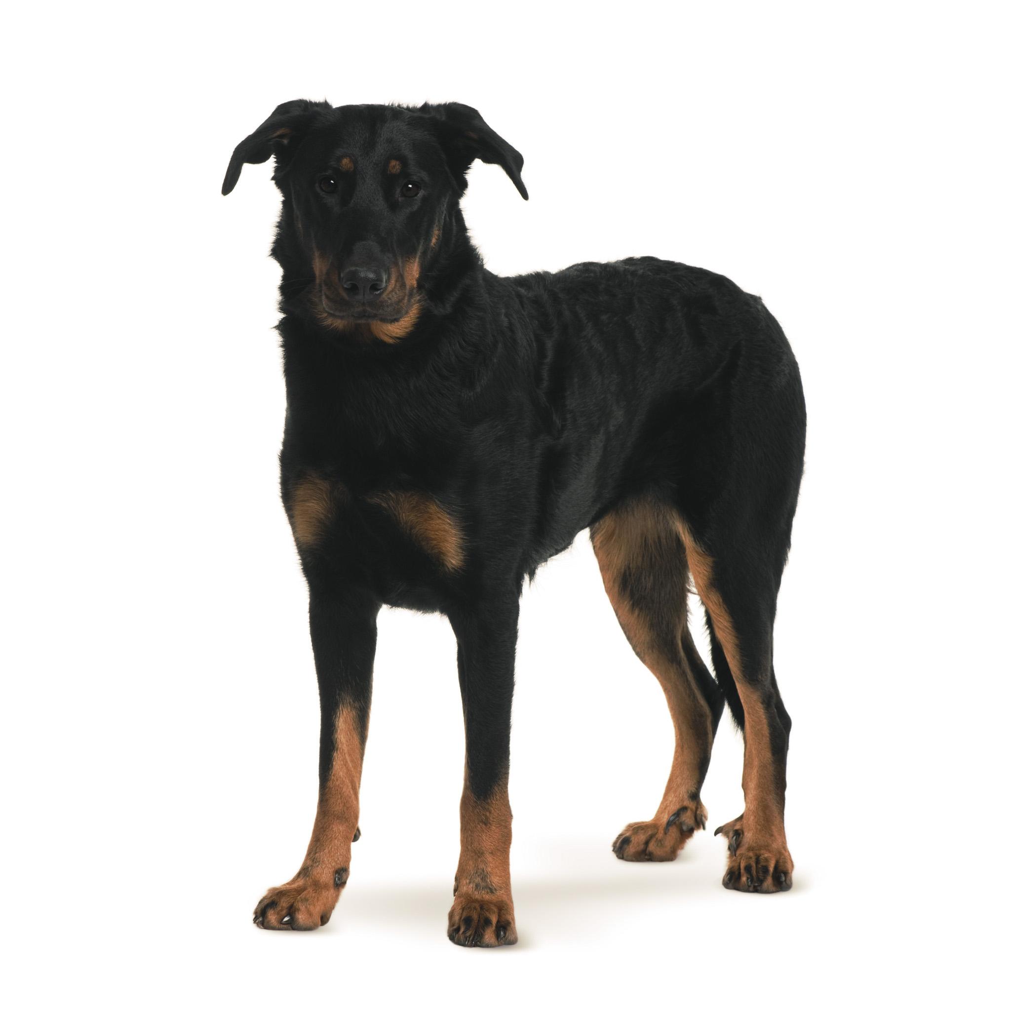 собака босерон