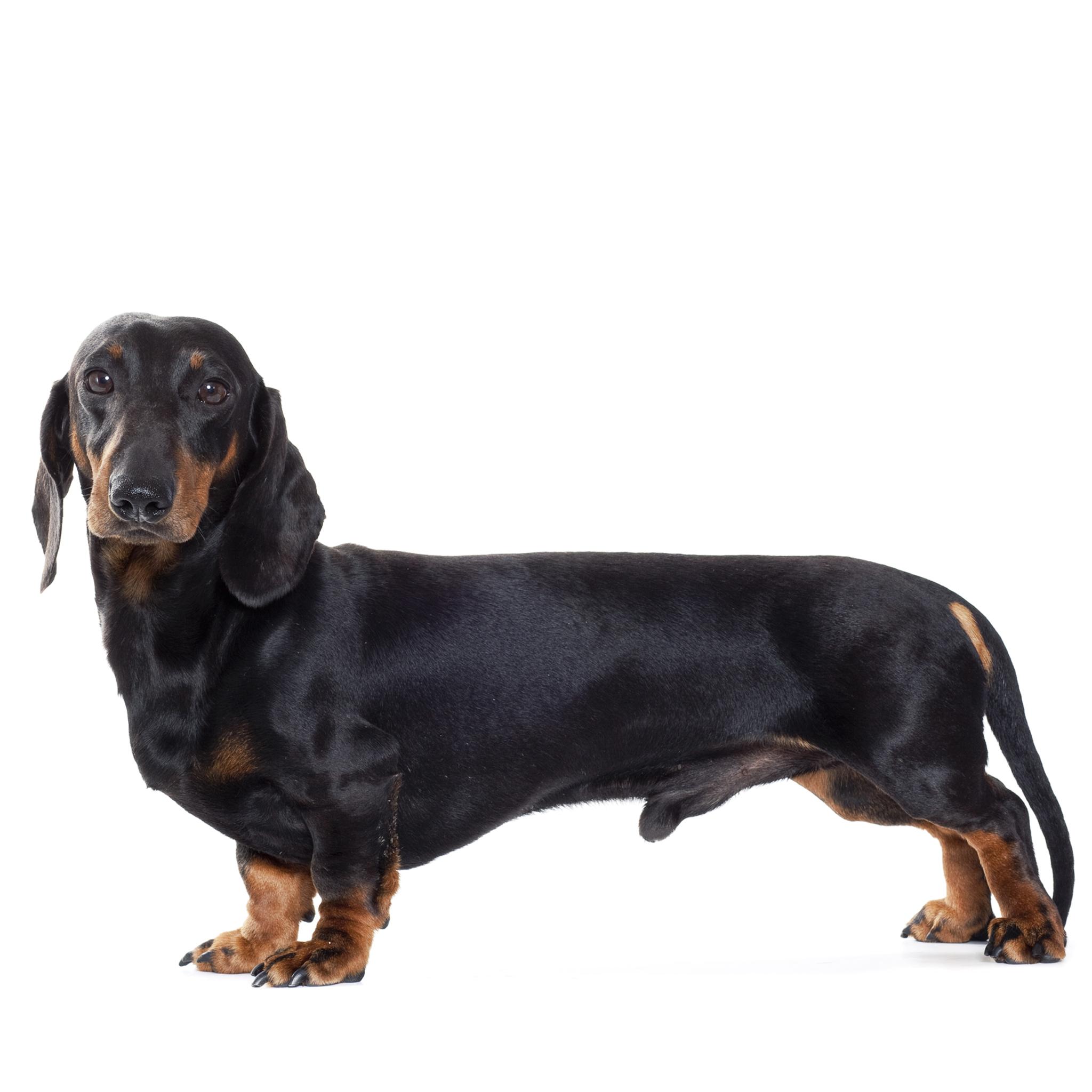 такса собака особенности породы
