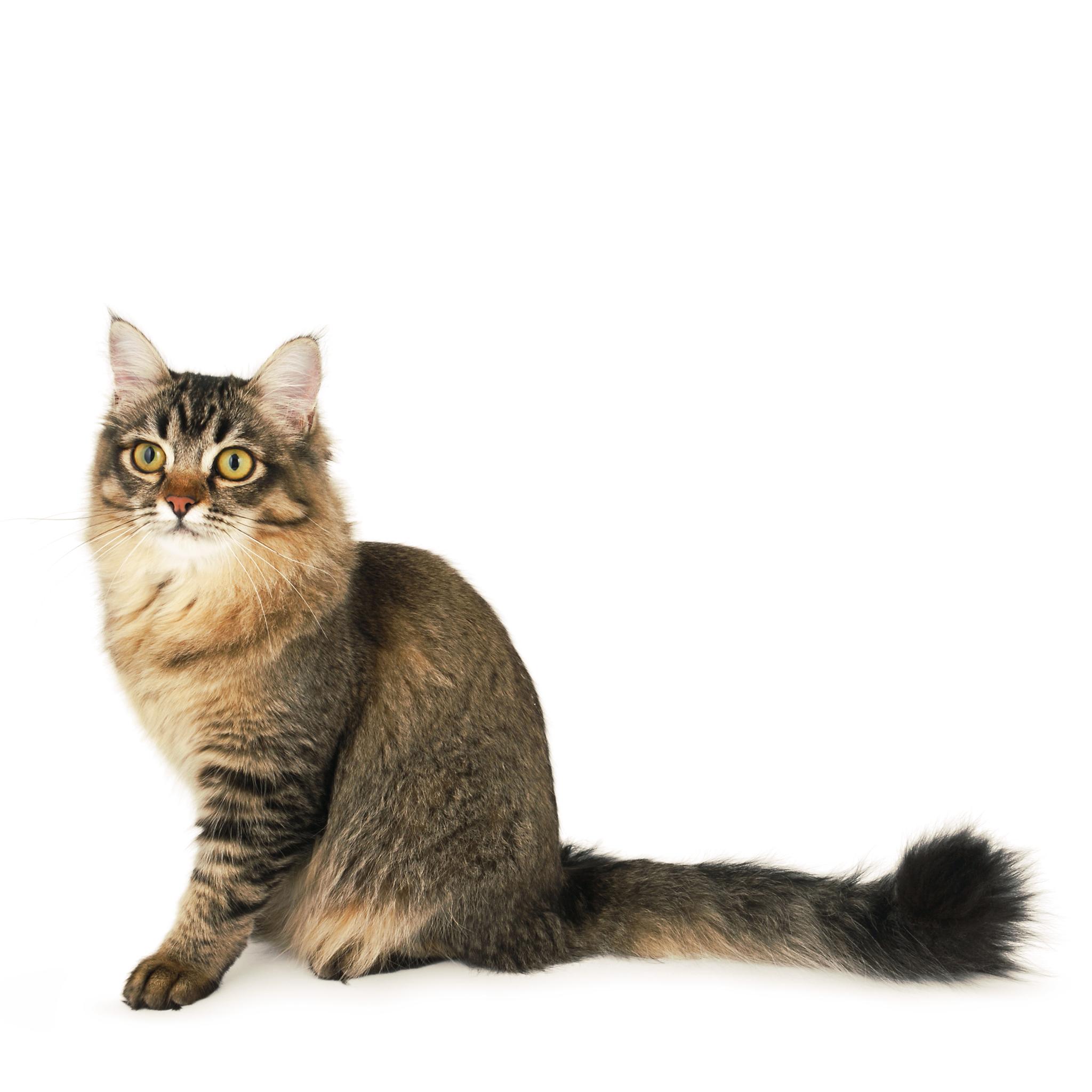 шантильи кошка фото