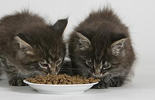 Чем и как кормить кошку правильно в домашних условиях