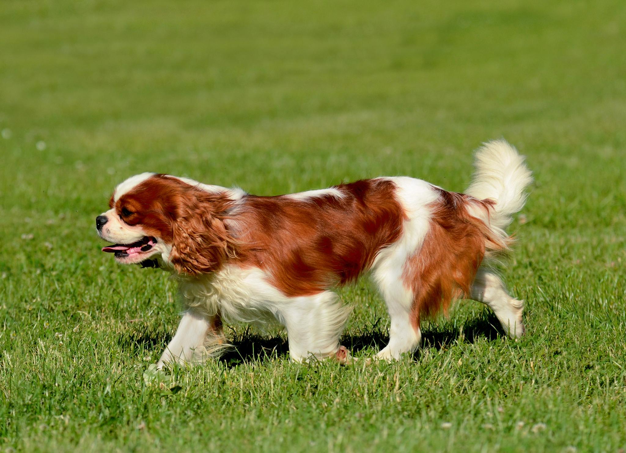 собака кавалер кинг чарльз спаниель фото