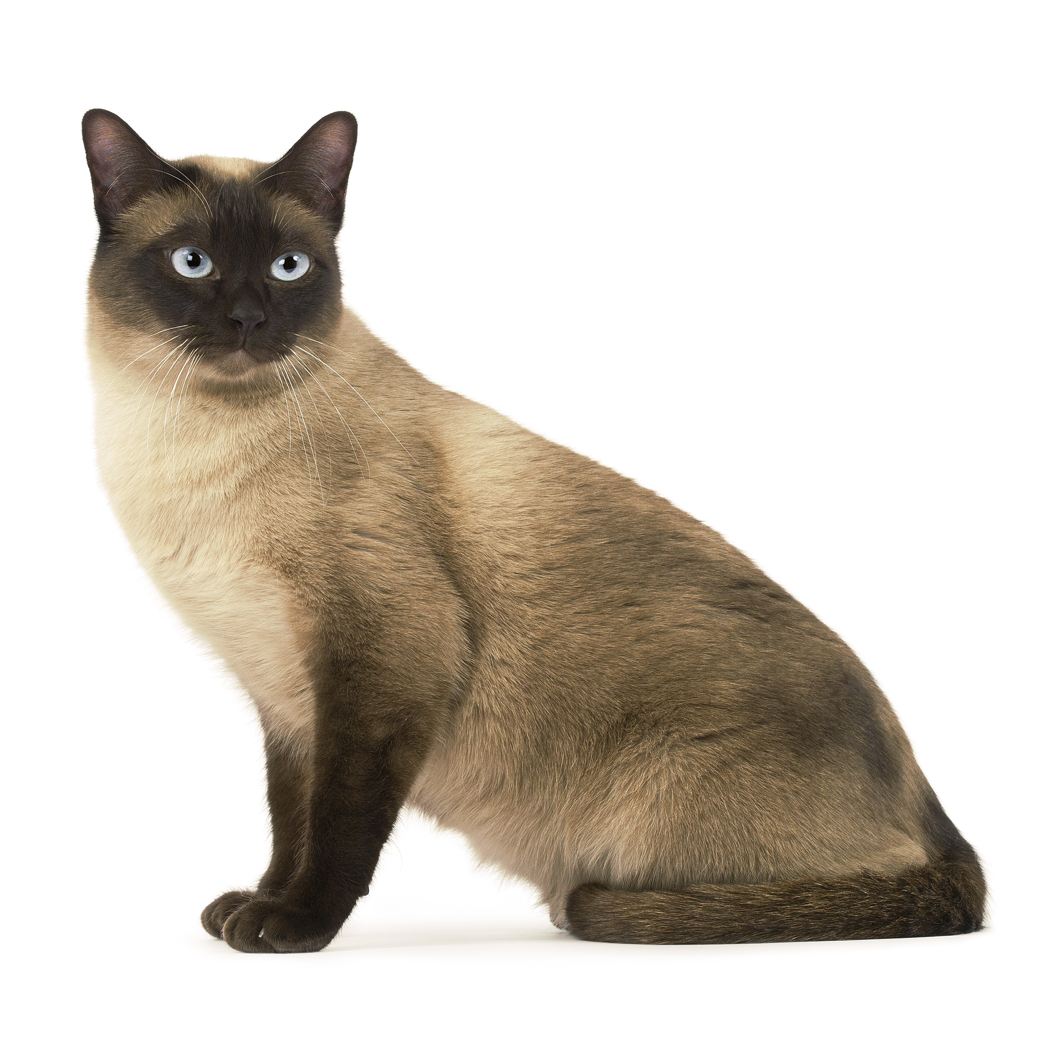тонкинские кошки фото