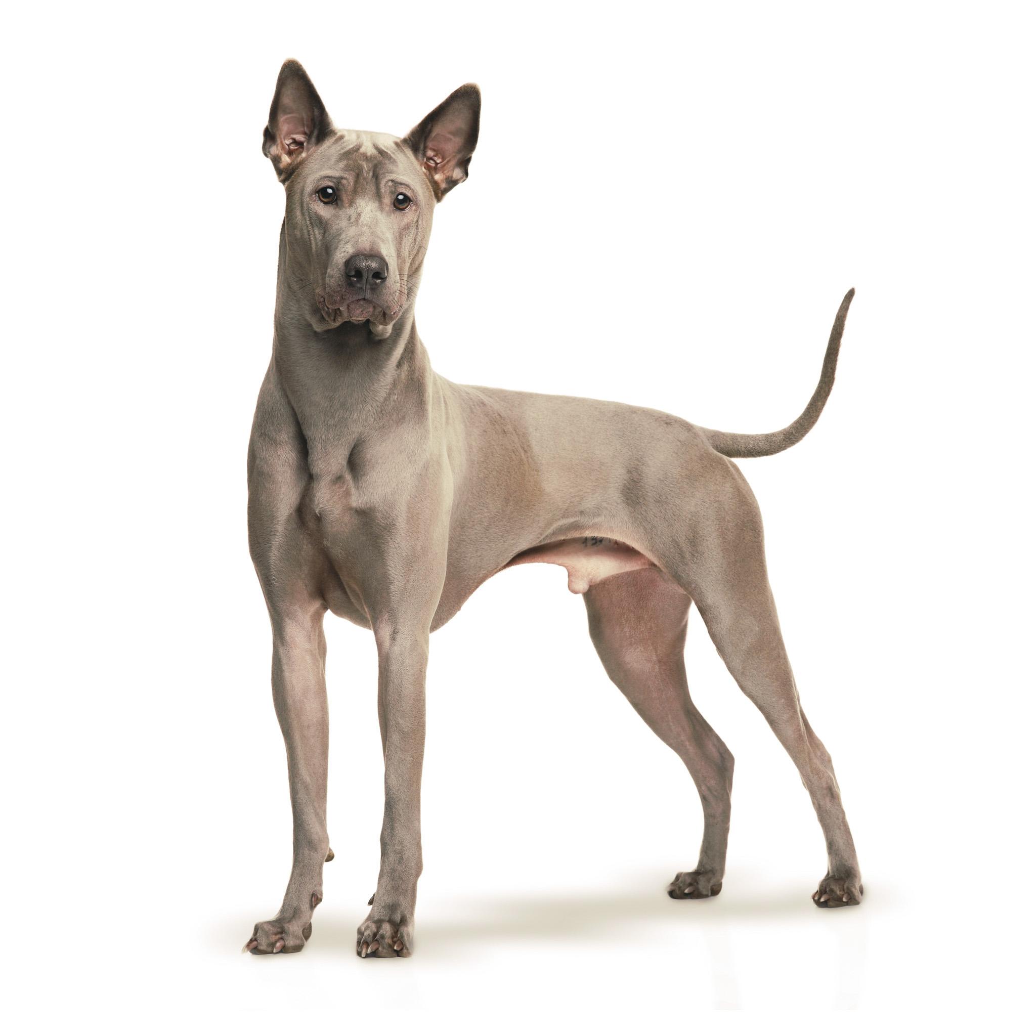 тайские собаки породы