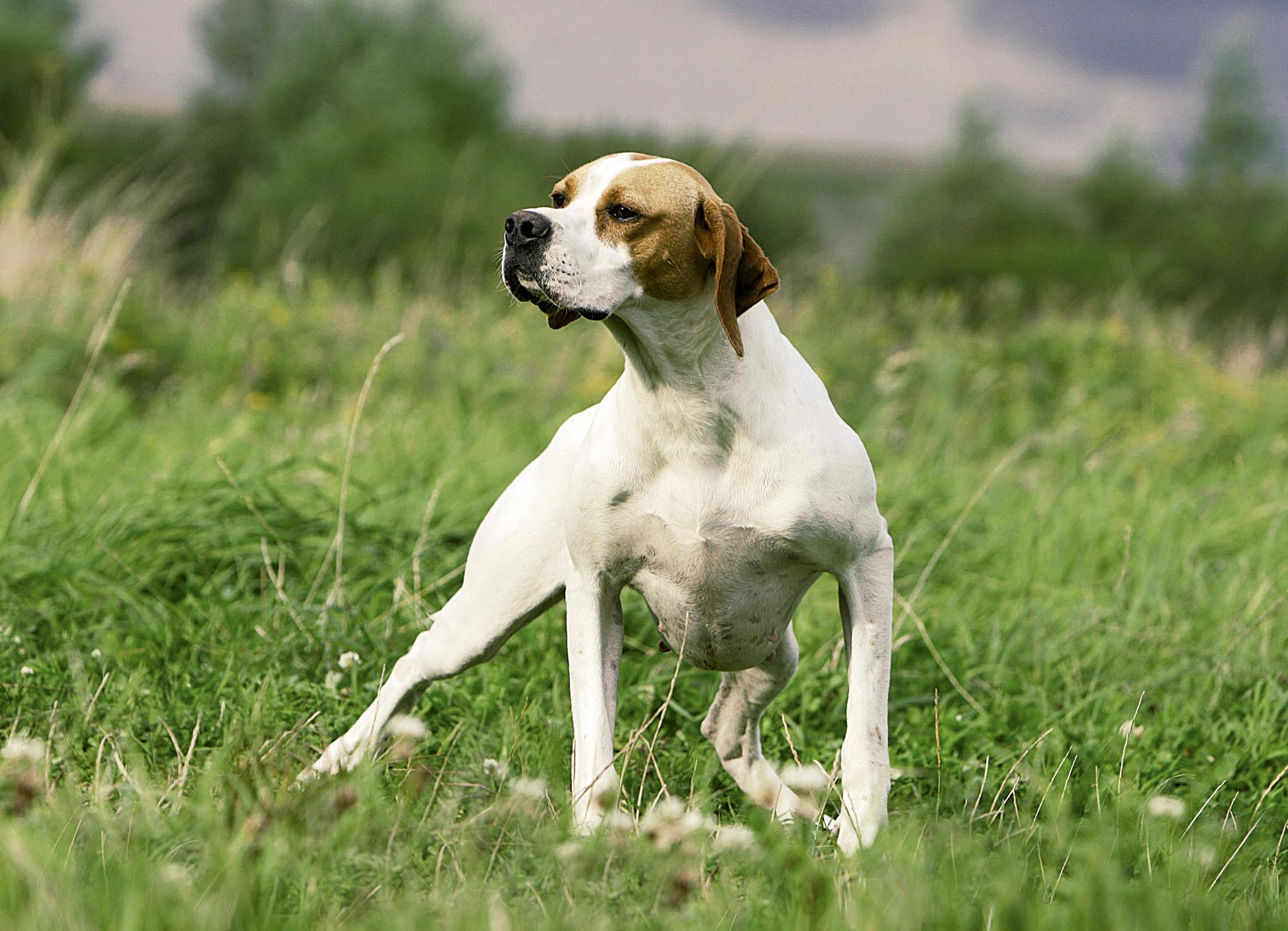 английский собака
