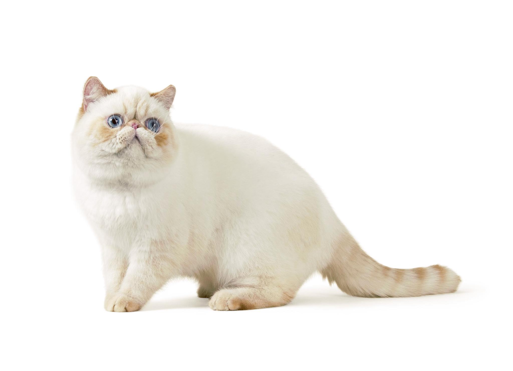 персидский кот короткошерстный