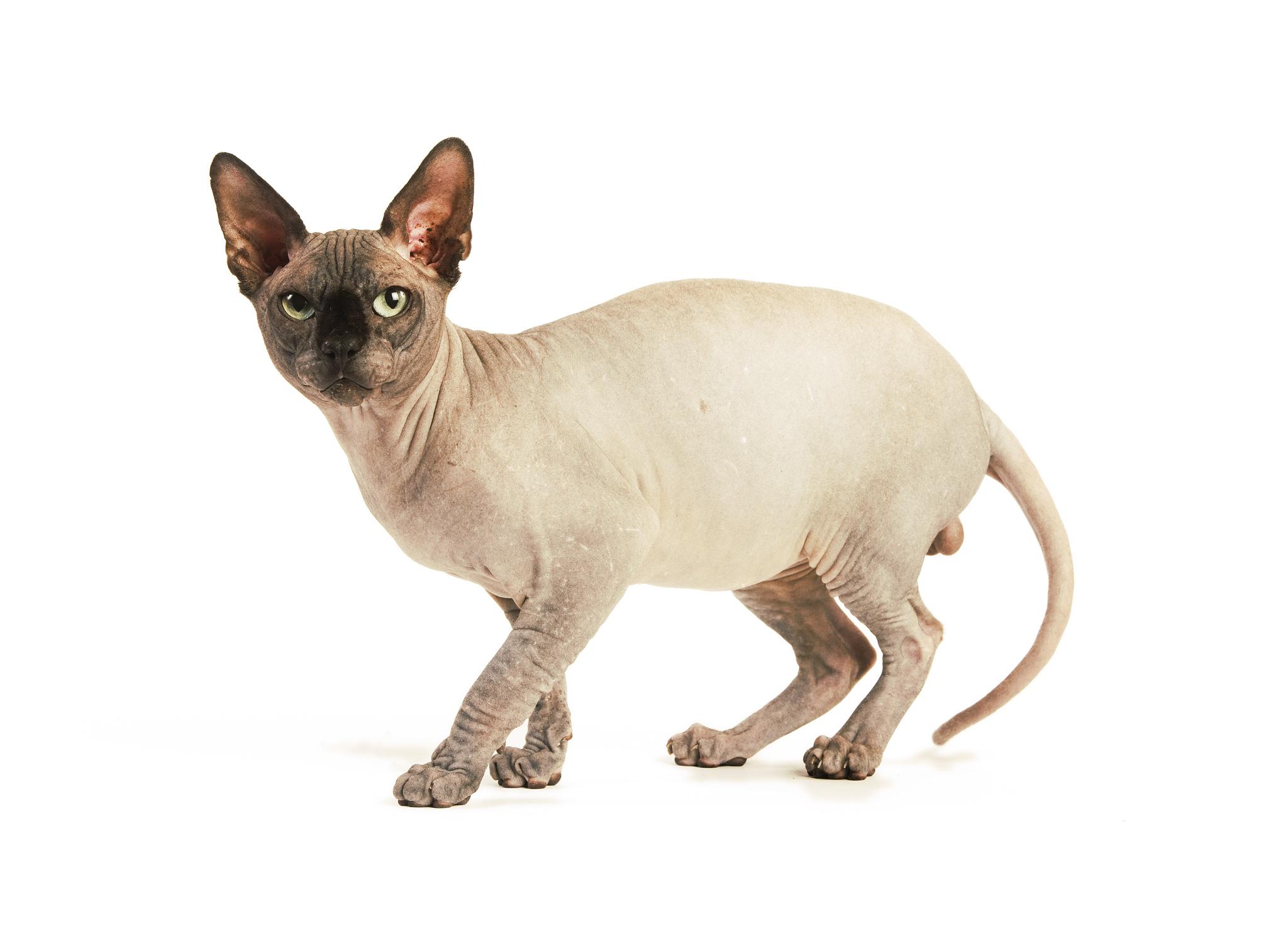 сфинкс коты