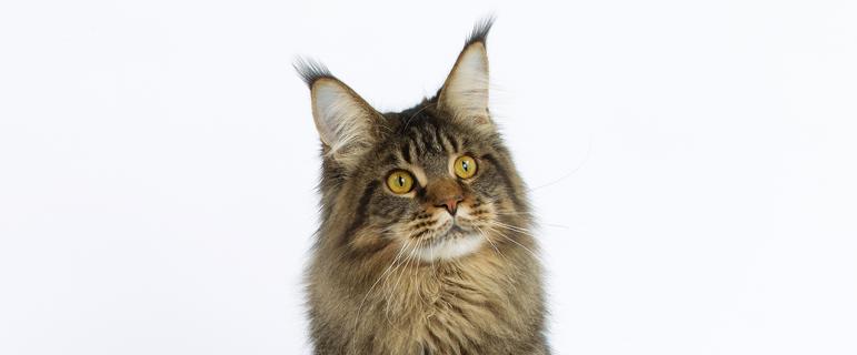 Грибок у кошек, кожные болезни у кошек