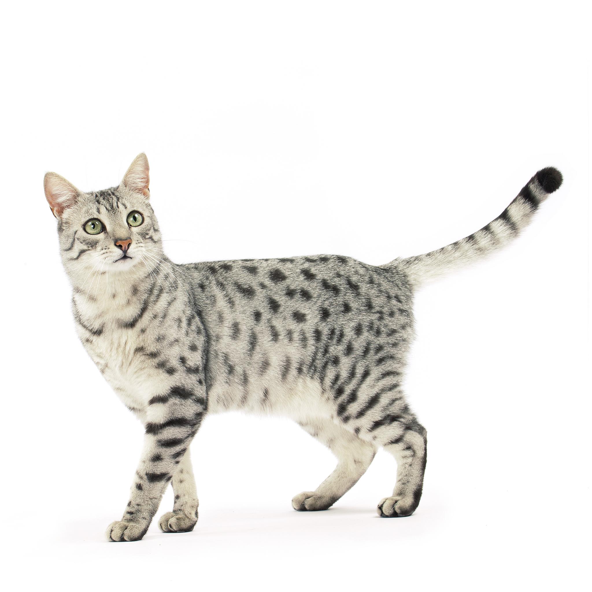 египетская кошка цена в россии