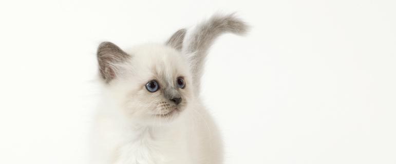 Как воспитывать котенка ласковым и ручным? Воспитание котенка