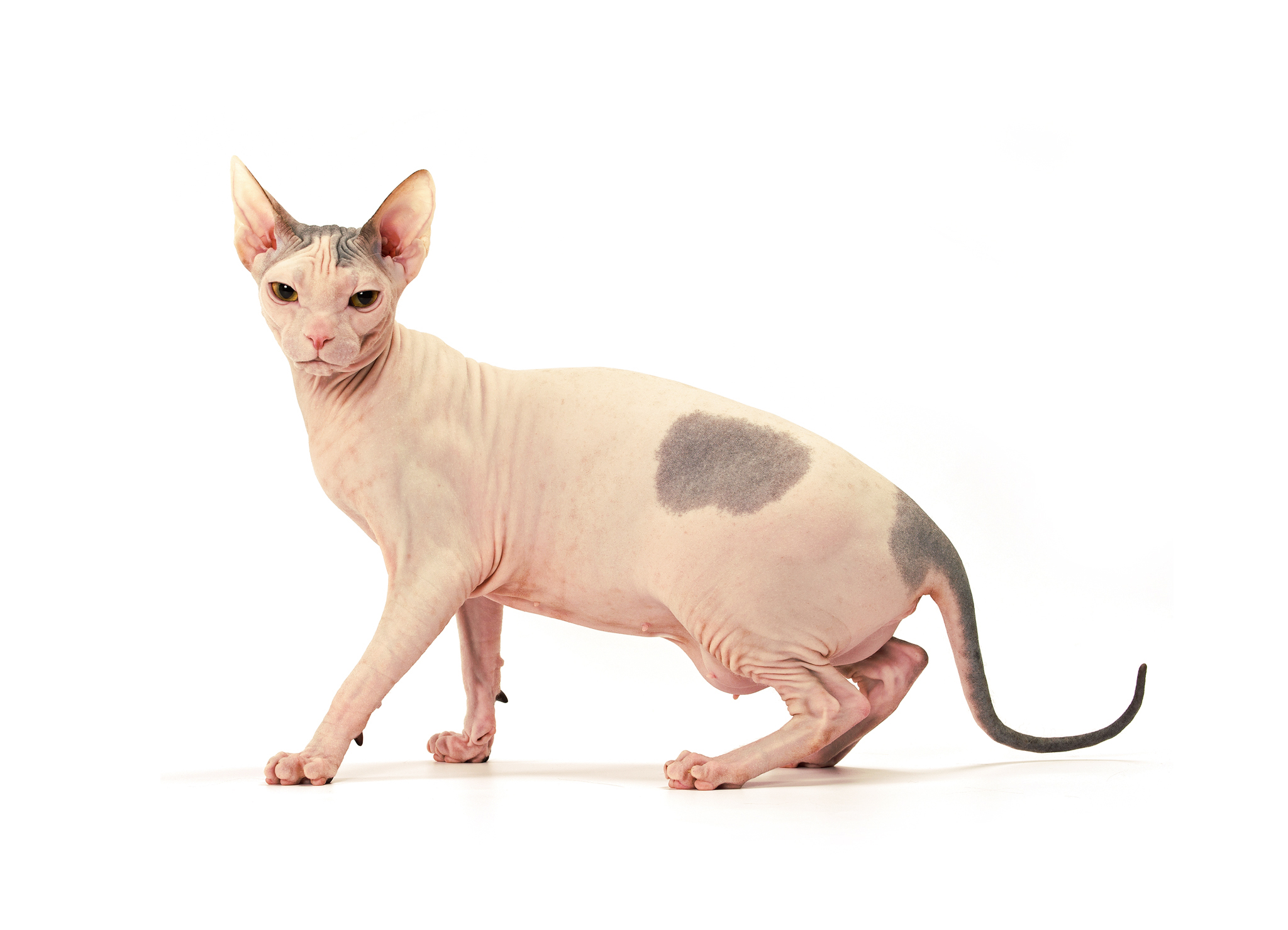 кот сфинкса фото