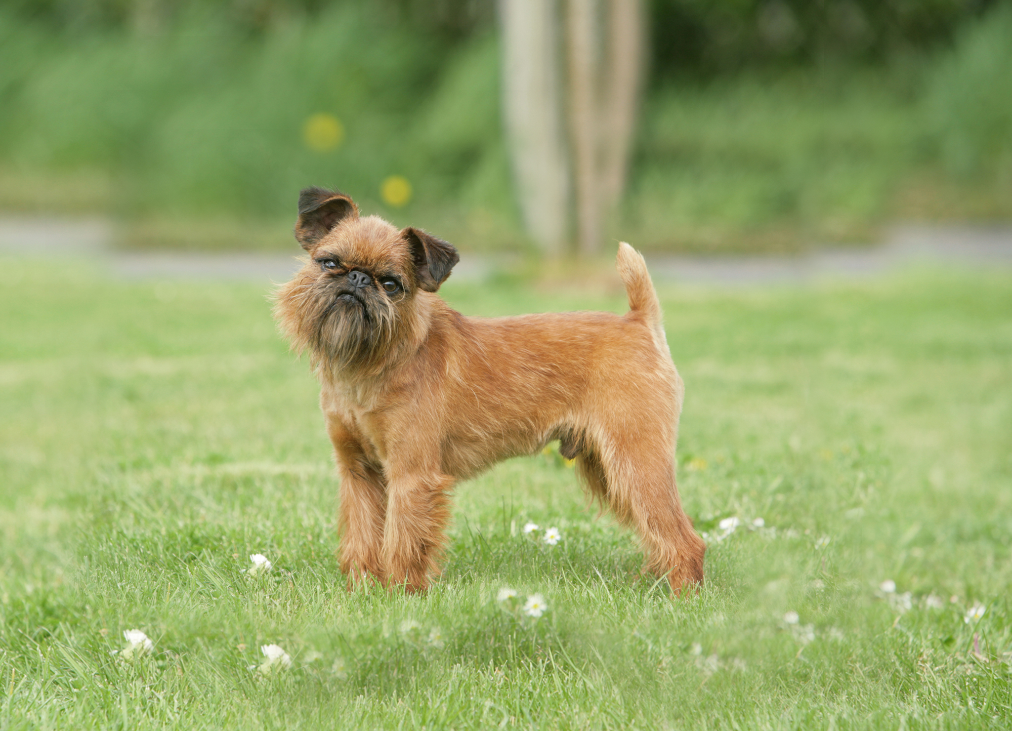 порода собак с усами