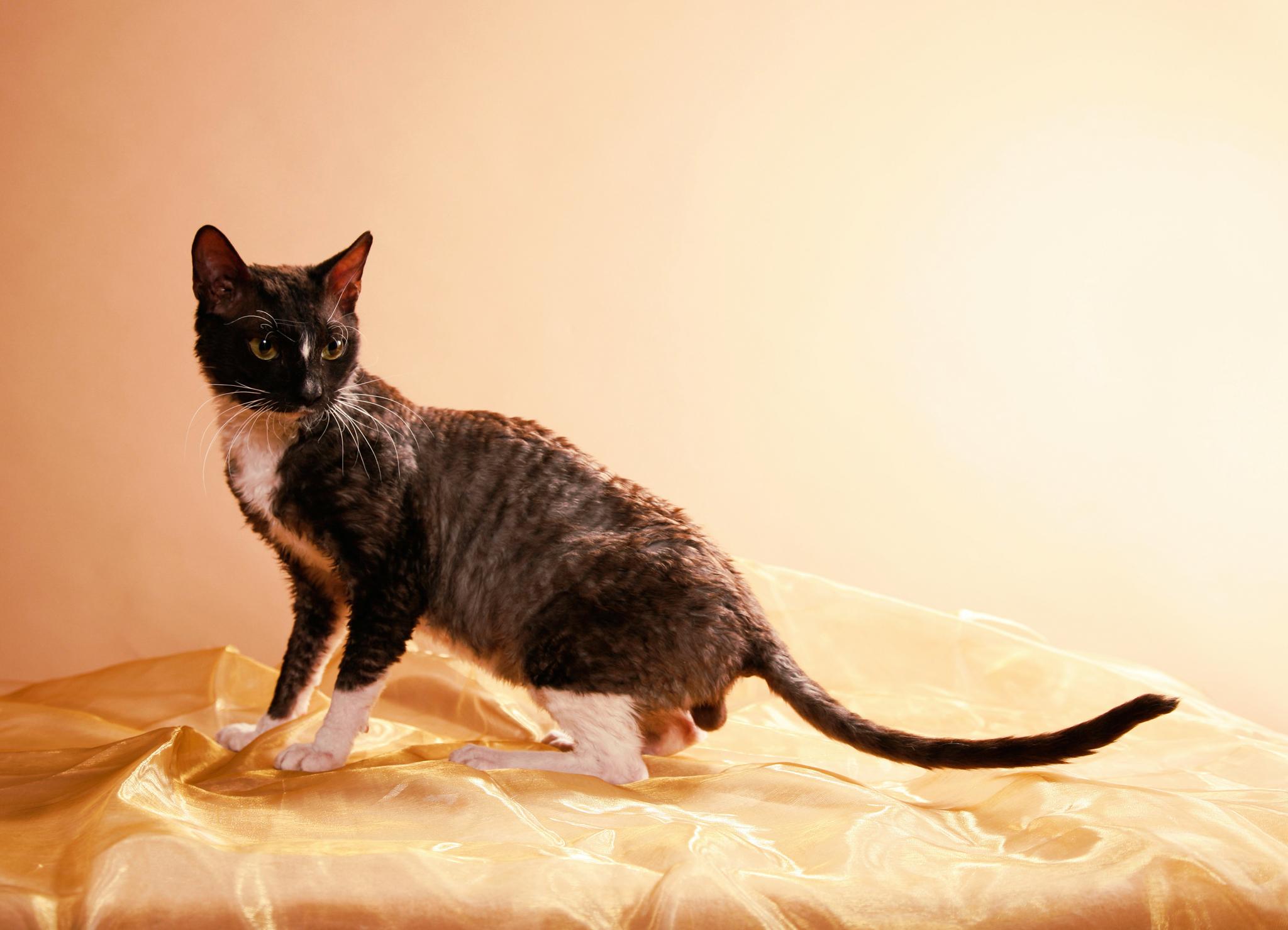 Картинки уральский рекс кошка