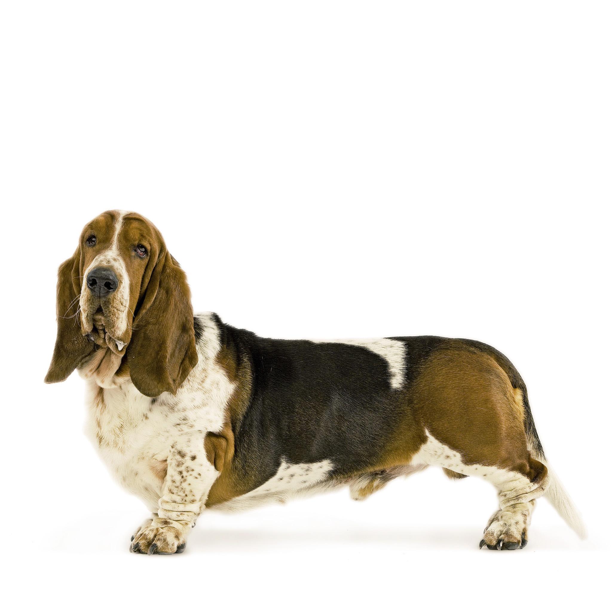 хаунд порода собак