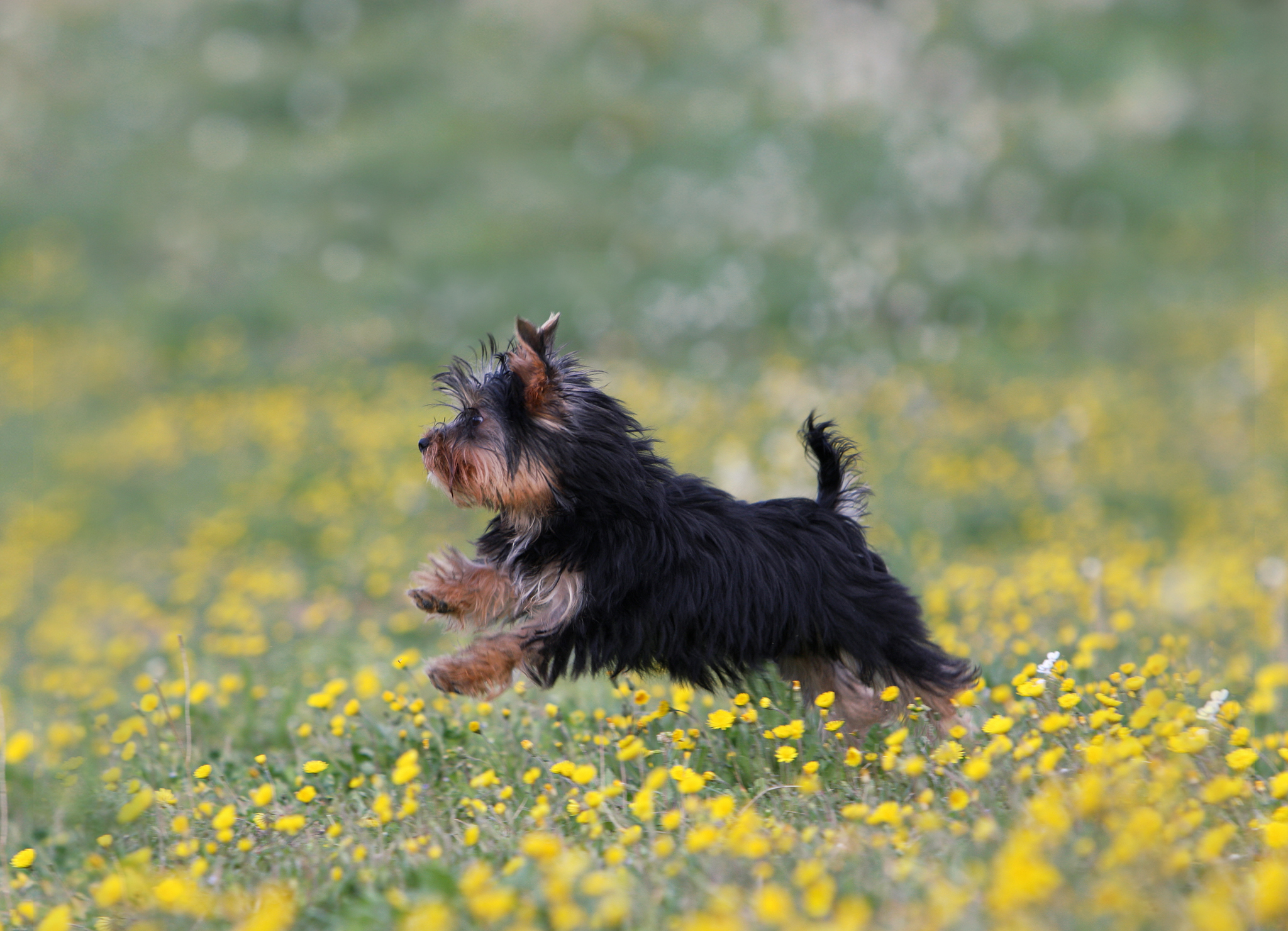 собака йорка фото