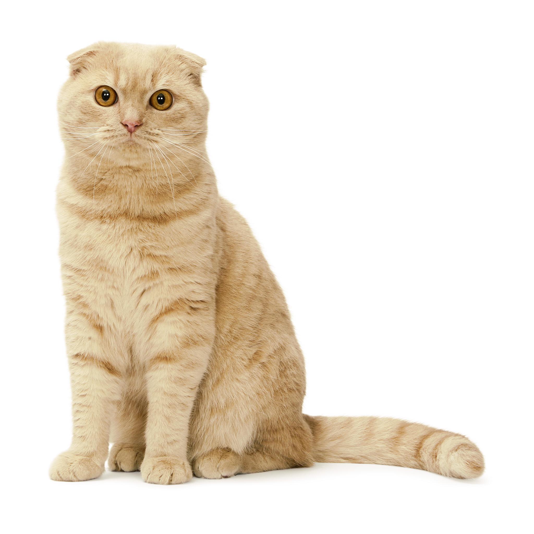 шотландская вислоухая кошка скоттиш фолд фото