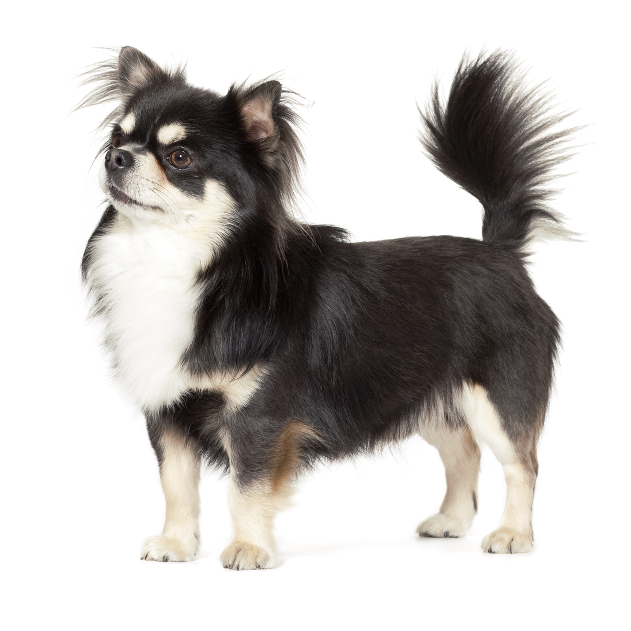 картинки собак чихуа