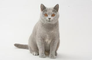 Чем отличается британская порода кошек от шотландской характер и внешний вид