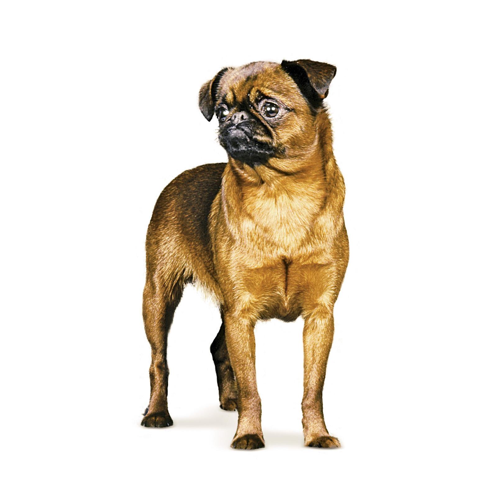 собака породы гриффон гладкошерстный