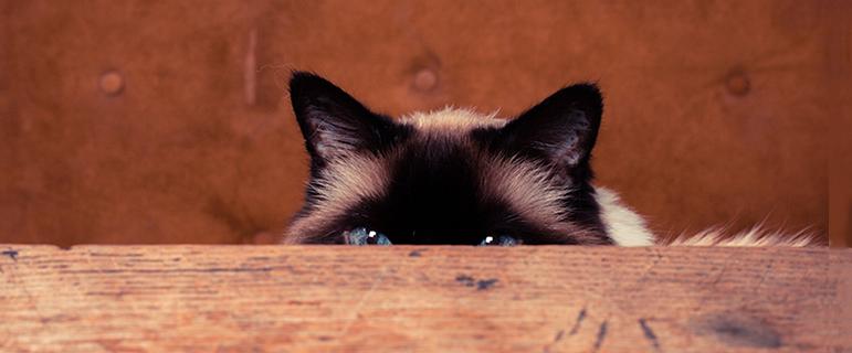Как чистить уши коту или кошке в домашних условиях: как правильно чистить, чем, средства