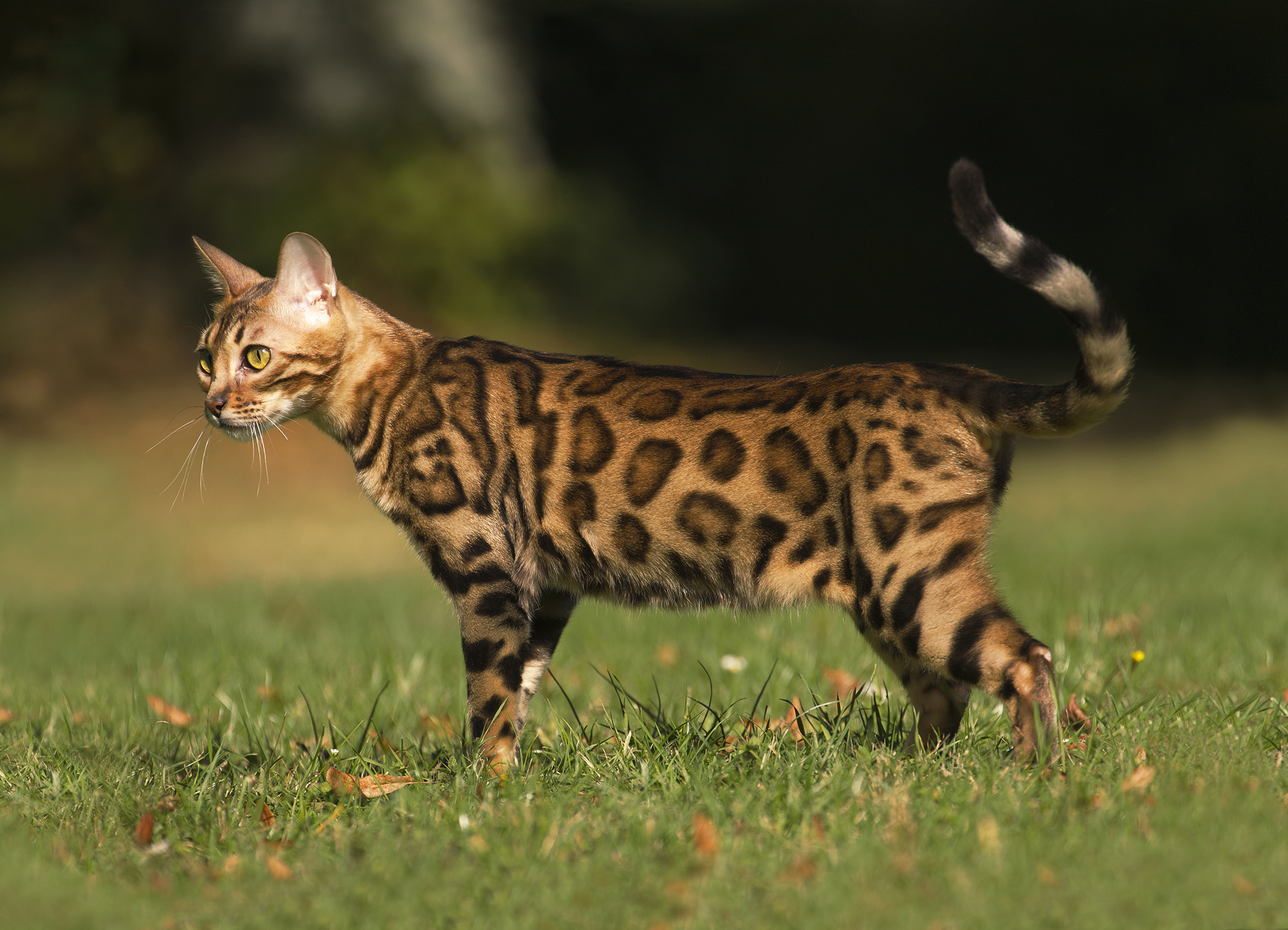 бенгальская порода котов