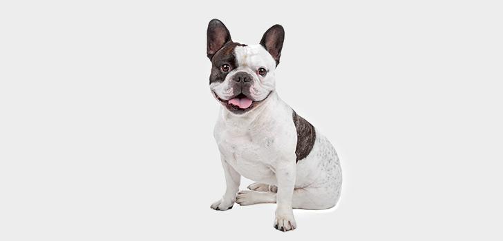 Диета Для Щенка Французского Бульдога. Содержание французского бульдога и уход за ним: чем кормить питомца в домашних условиях и как ухаживать за собакой?