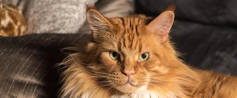 Поведение старых кошек - СКД у кошек и котов, почему меняется поведение