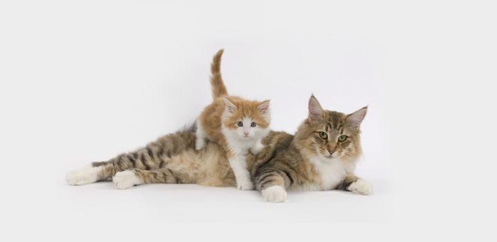 как определить когда начнутся роды у кошки