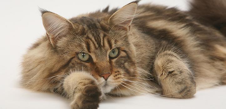 Порода кошек мейн-кун: происхождение и описание